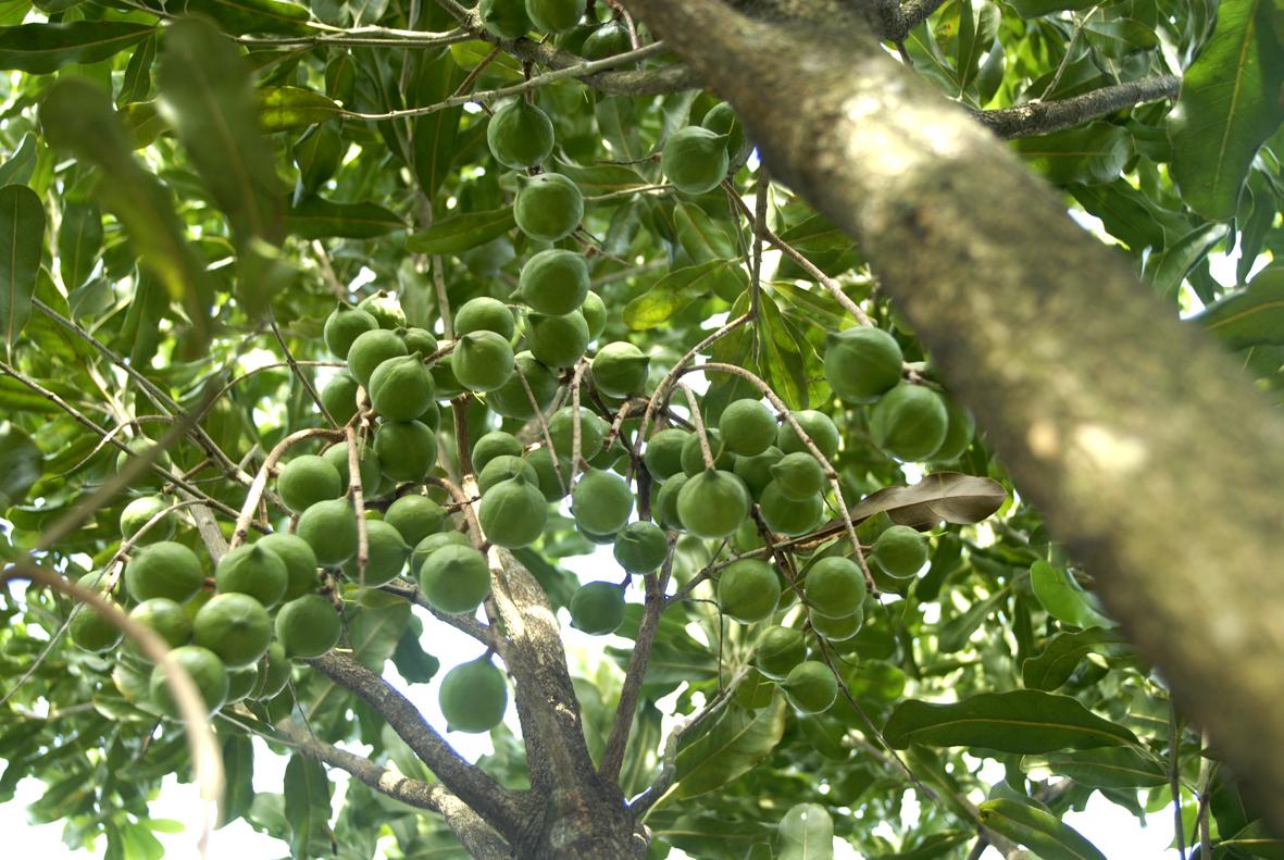 Điện Biên sẽ trồng hàng nghìn ha mắc ca