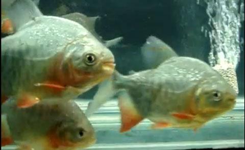 Cá ăn thịt người được rao báo với giá 20.000 đồng