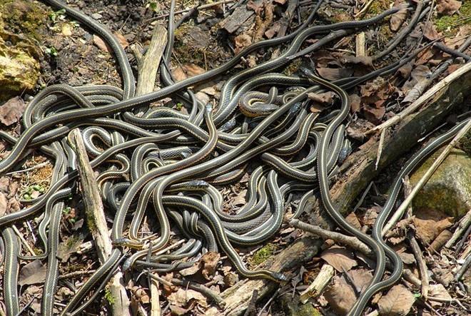 Cận cảnh những hố rắn khổng lồ ở vùng nông thôn Canada 7
