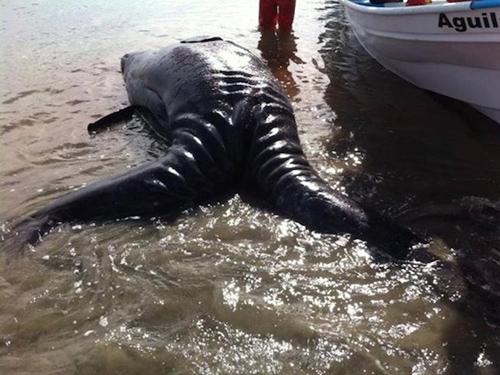 Phát hiện xác cá voi sinh đôi dính liền cực hiếm dạt vào bờ biển 5