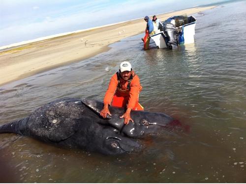 Phát hiện xác cá voi sinh đôi dính liền cực hiếm dạt vào bờ biển