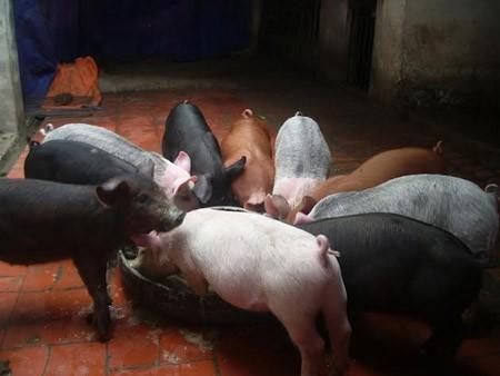 Đầu xuân ngắm đàn lợn ngũ sắc kỳ lạ ở Hà Nội 5