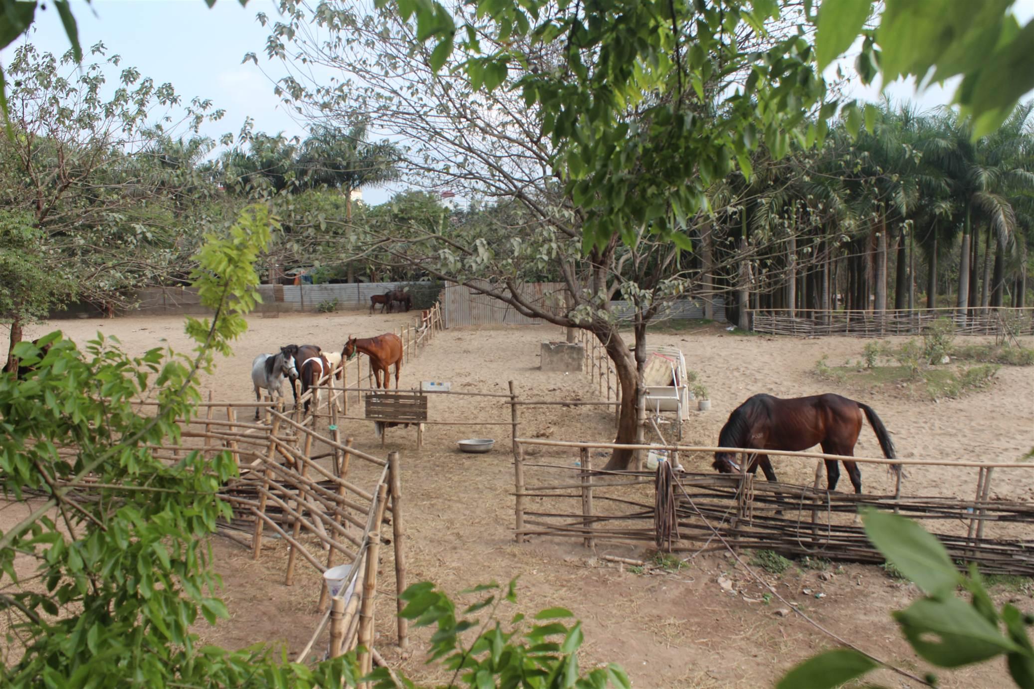 Hình ảnh Đột nhập trang trại ngựa đua tiền tỷ giữa Hà Nội số 1