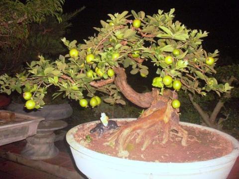 Chiêm ngưỡng cây ổi dáng