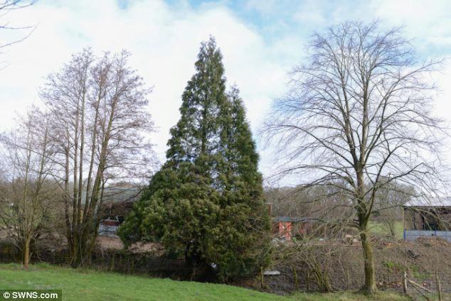 Bí ẩn cây thông hồi sinh sau khi bị bão đánh bật gốc 6