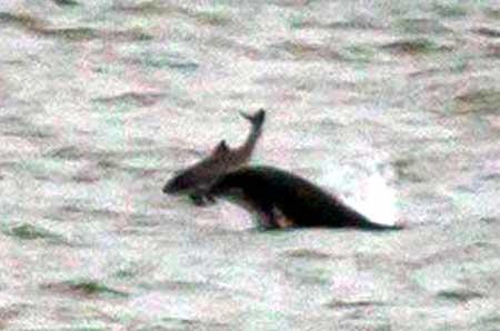 Cá heo tấn công và giết chết đồng loại  7