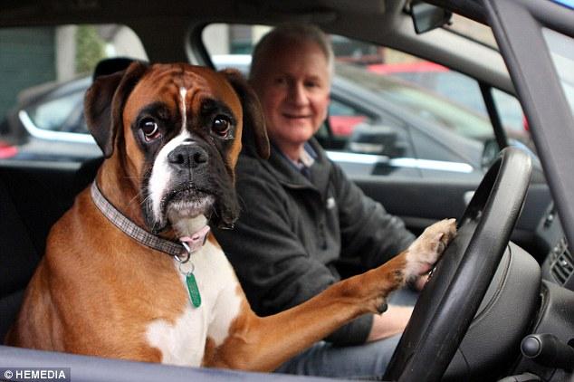 Clip: Chú chó boxer bấm còi ô tô inh ỏi 5