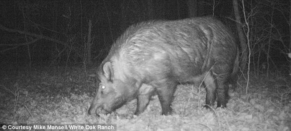 Bắt được lợn rừng nặng 230 kg 7