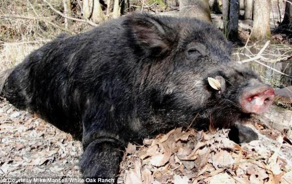 Bắt được quái vật lợn rừng nặng hơn 200 kg, ăn cả năm không hết thịt 3