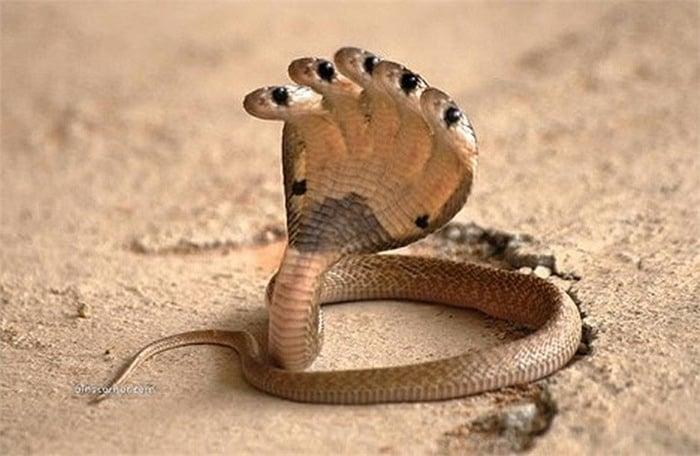Giải mã bí mật rắn thần nhiều đầu ở Ấn Độ 5