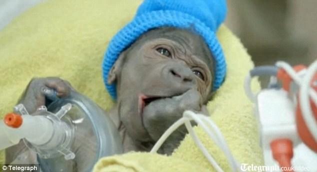 Tận mục ca sinh con như người của khỉ đột mẹ 9