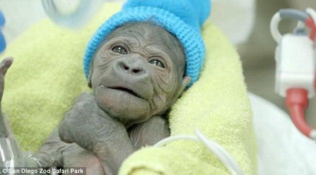Tận mục ca sinh con như người của khỉ đột mẹ 4