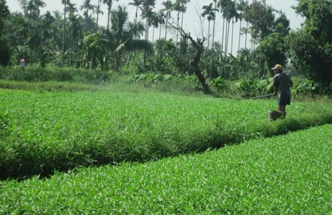 'Tắm' hóa chất, thuốc kích thích cho rau muống ở Sài Gòn 7