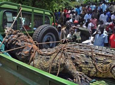 Bắt sống cá sấu 80 tuổi khổng lồ ăn thịt người hàng loạt  5