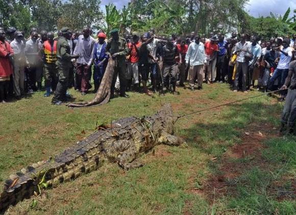 Bắt sống cá sấu 80 tuổi khổng lồ ăn thịt người hàng loạt  6