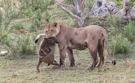 Sư tử âu yếm khỉ con sau khi ăn thịt khỉ mẹ 5