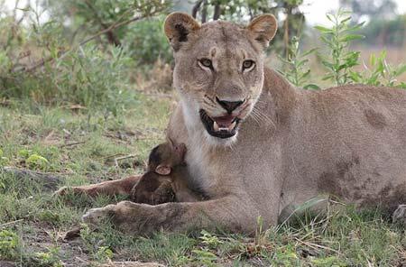 Sư tử âu yếm khỉ con sau khi ăn thịt khỉ mẹ 9
