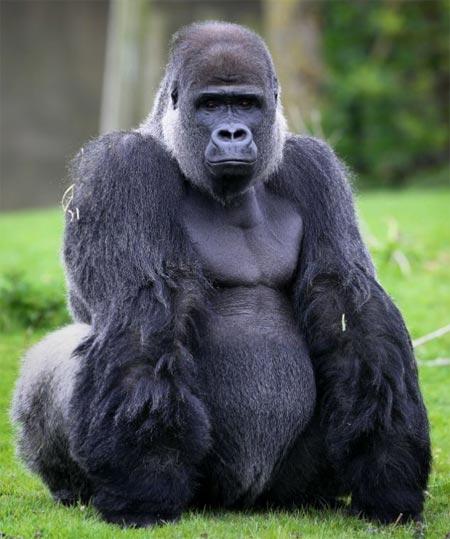 Khỉ đột gây sốc vì dáng đi đứng thẳng giống hệt người 4
