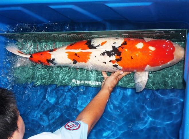 Cá chép Nhật Bản có giá hàng trăm triệu đã về Việt Nam 4