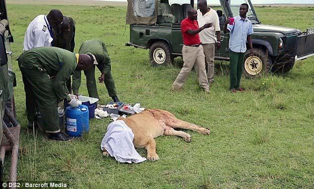 Cận cảnh ca cấp cứu sư tử cái bị rách toạc người 6