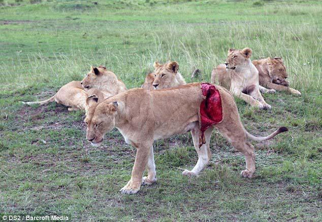 Cận cảnh ca cấp cứu sư tử cái bị rách toạc người 4