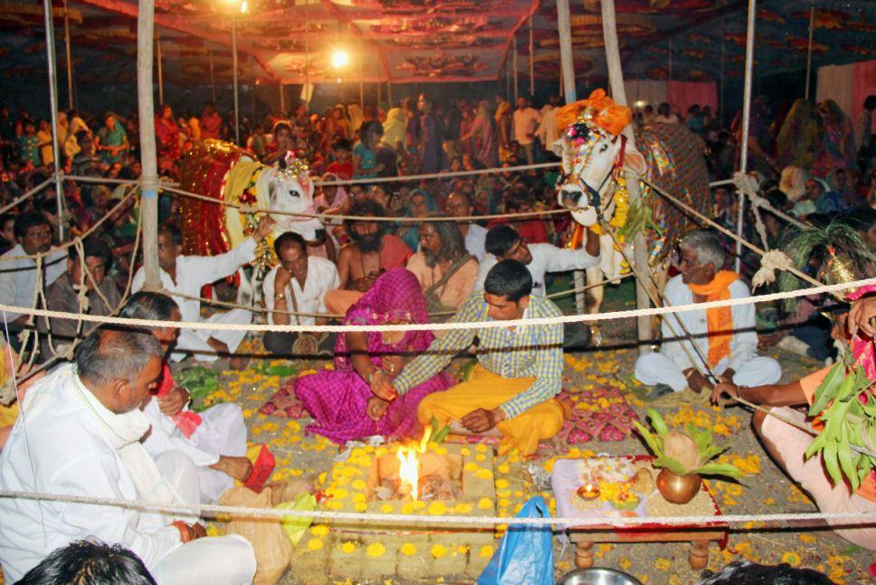5000 người tham dự lễ cưới của 2 chú bò ở Ấn Độ 9