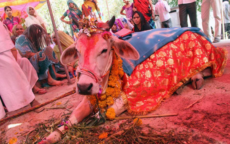 5000 người tham dự lễ cưới của 2 chú bò ở Ấn Độ 10