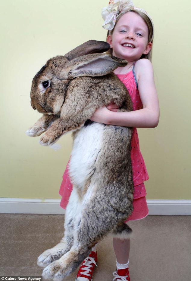 Cận cảnh chú thỏ lớn nhất thế giới ăn 4000 củ cà rốt mỗi năm 5