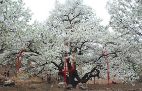 Hình ảnh Độc đáo cây lê 500 tuổi cho 3 tấn quả mỗi năm số 1
