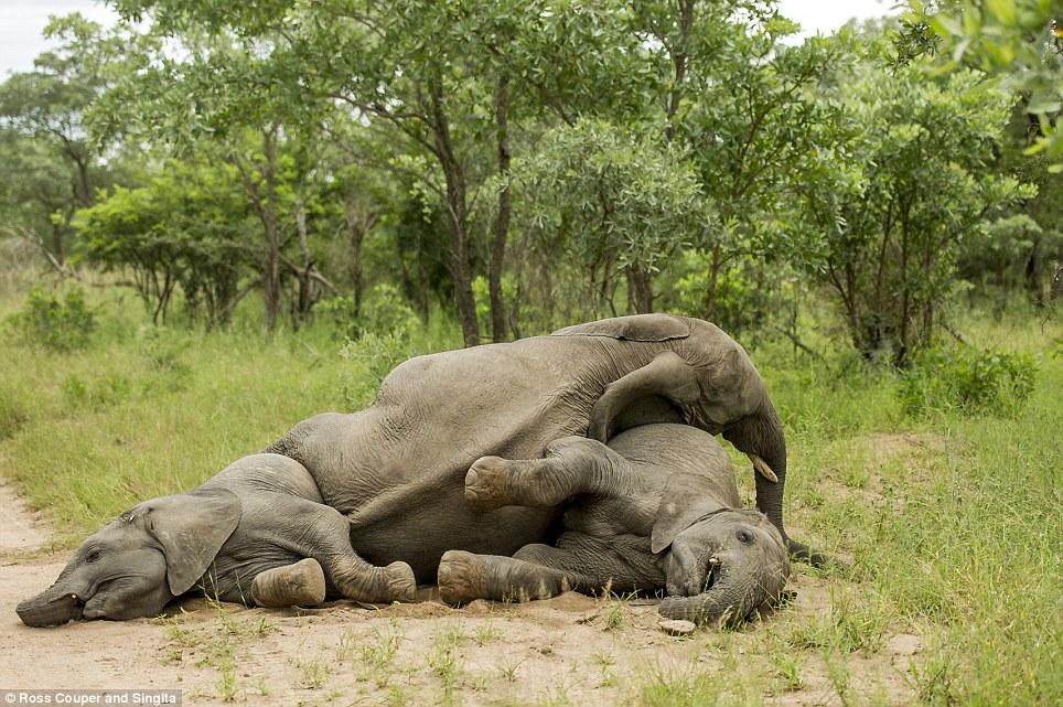 Chùm ảnh hài hước những chú voi say bí tỉ trong vườn thú 6