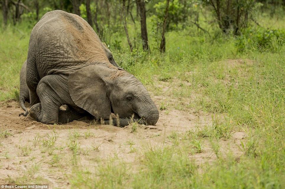 Chùm ảnh hài hước những chú voi say bí tỉ trong vườn thú 9