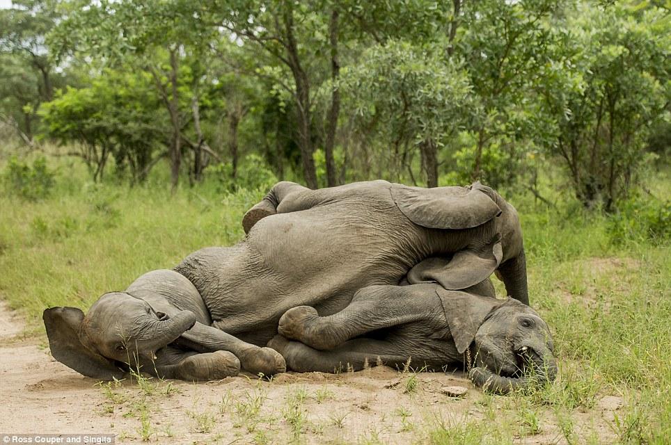 Chùm ảnh hài hước những chú voi say bí tỉ trong vườn thú 11