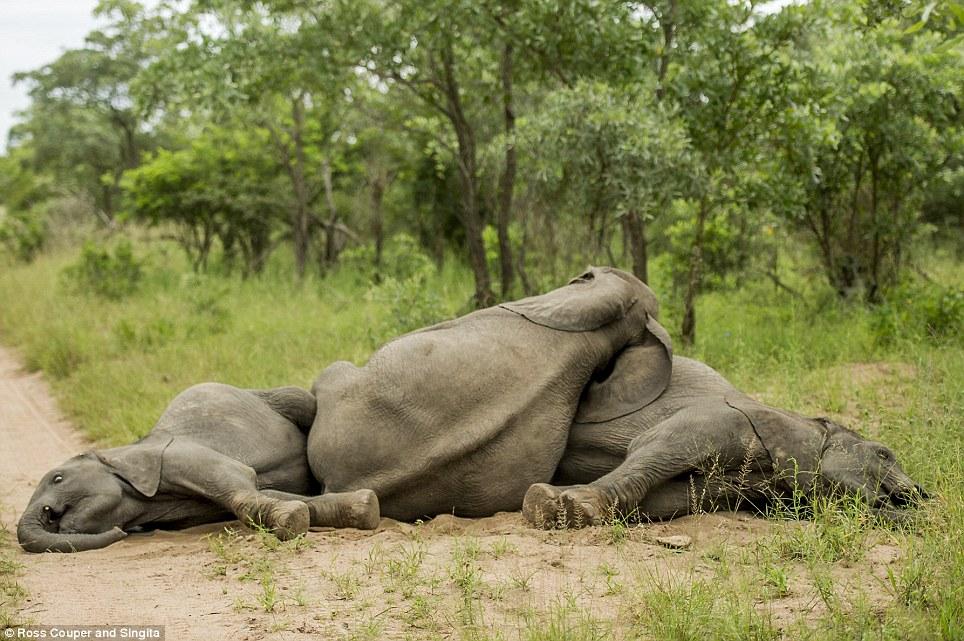 Chùm ảnh hài hước những chú voi say bí tỉ trong vườn thú 12
