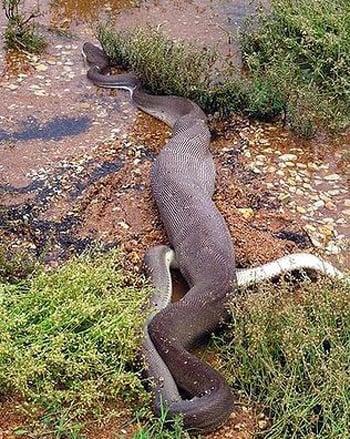 Trăn nuốt chửng cá sấu sau 5 giờ quyết đấu 10