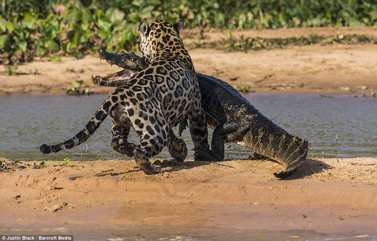 Báo đốm vượt sông săn cá sấu vô cùng ngoạn mục 8