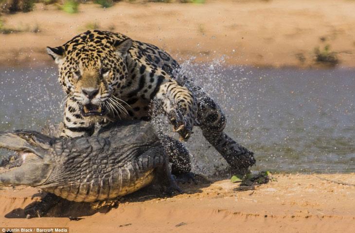 Báo đốm vượt sông săn cá sấu vô cùng ngoạn mục 5
