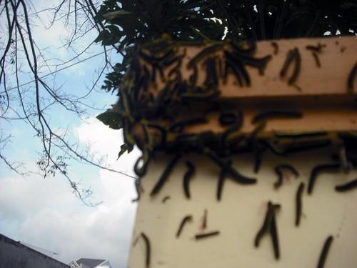 Lâm Đồng: Hàng ngàn con sâu lạ