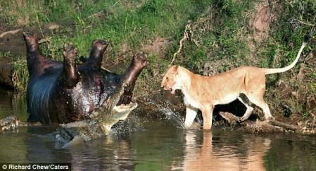Huyết chiến giữa sư tử và cá sấu tranh xác hà mã khổng lồ 7