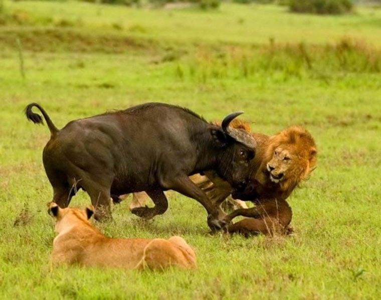 Cuộc chiến sinh tồn ác liệt giữa sư tử và trâu rừng 6
