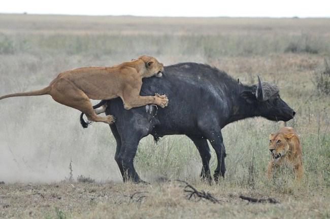 Cuộc chiến sinh tồn ác liệt giữa sư tử và trâu rừng 5