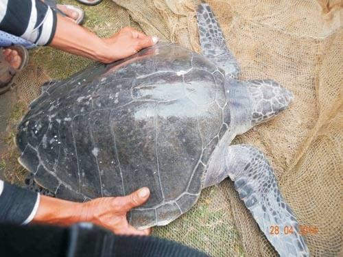 Thừa Thiên Huế: Phát hiện rùa biển quý hiếm nằm trong Sách đỏ Việt Nam 4