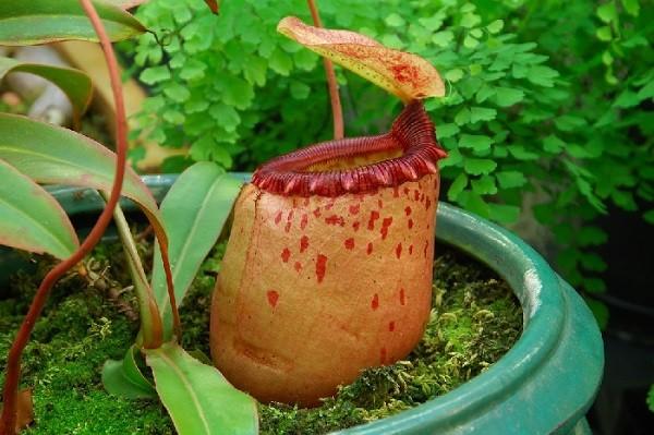 Cận cảnh vẻ gợi cảm chết người của những loài thực vật ăn thịt 8