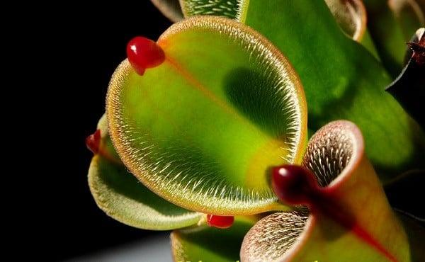 Cận cảnh vẻ gợi cảm chết người của những loài thực vật ăn thịt 14