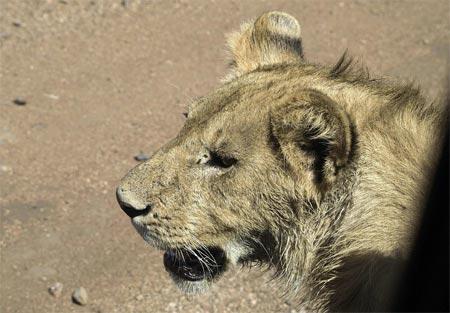 Trâu rừng đơn độc thoát chết ngoạn mục trước bầy sư tử 6