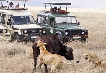 Trâu rừng đơn độc thoát chết ngoạn mục trước bầy sư tử 9