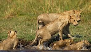 Sư tử liều mình với cá sấu để bảo vệ con 5