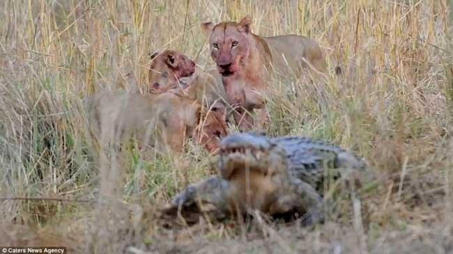 Sư tử liều mình với cá sấu để bảo vệ con 9