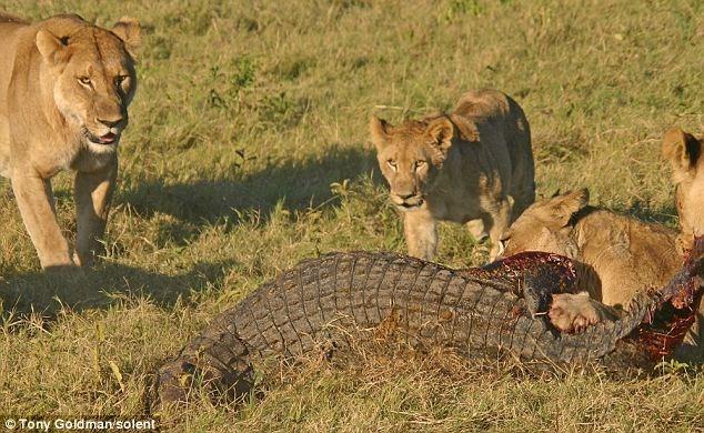 Sư tử liều mình với cá sấu để bảo vệ con 6
