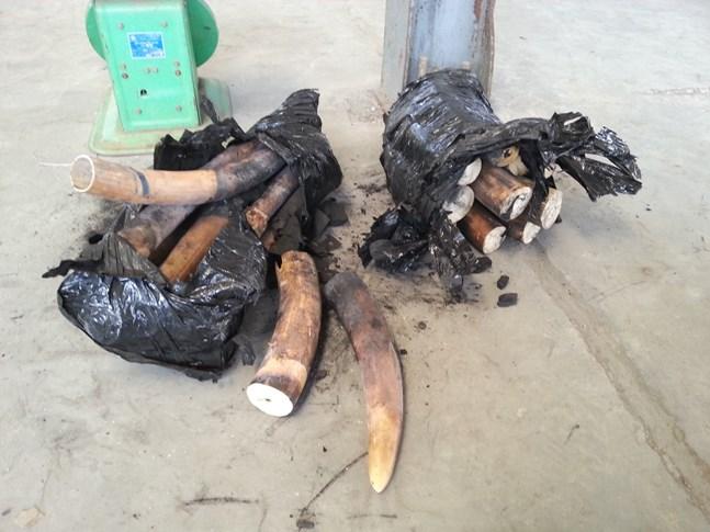 Một tấn ngà voi được ngụy trang bằng than củi để chuyển sang Trung Quốc 5