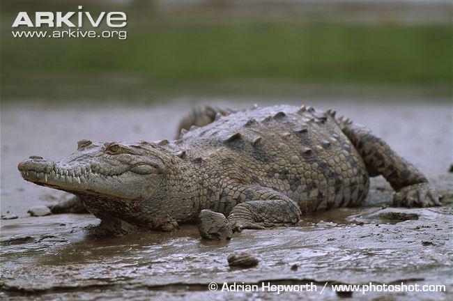 Cận cảnh loài quái vật ăn thịt đáng sợ nhất vùng đầm lầy Florida 5